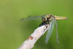 dragonfly bionics (**MIKA**) Tags: macro zeiss 35mm canon dragonfly x jena m42 makro libelle bionics bionik 550d rabeninsel porstendorf filtergewinde flektotron