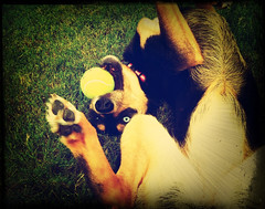 Let's Play Ball (MrsNodders) Tags: dog playing grass ball fetch iphone4