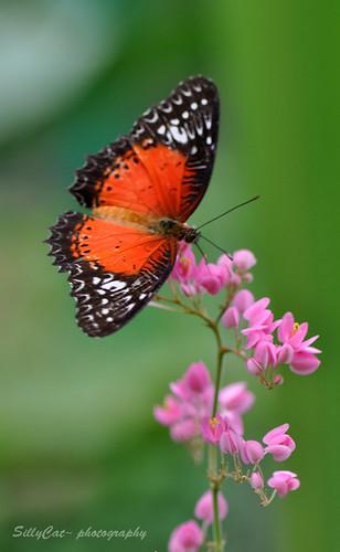Cethosia Biblis Perakana(Red lacewing) | 紅鋸蛺蝶-0