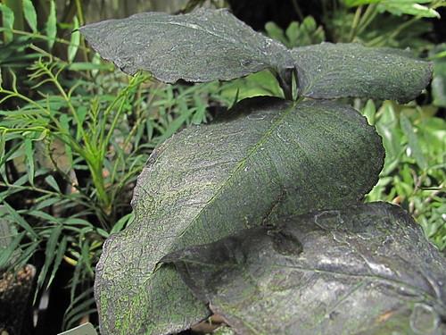 Arisaema triphyllum Black Jack