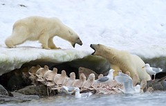 Two Polar Bears Fight Over Whale Carcass (KEENPRESS) Tags: bear white snow animal horizontal standing mammal outdoors photography frozen day power wildlife large nopeople biting svalbard polarbear relationship fighting behavior spar playful anthropomorphic roughhousing colorimage twoanimals animalbehavior whalecarcass coldtemperature animalshunting animalleg