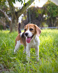 Veronica (Neptunecocktail) Tags: beagle puppy puppies hound pup