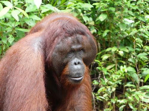 orangutan macho