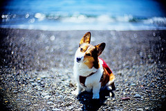 shining beach (moaan) Tags: ocean leica blue light dog sunlight color beach smile sunshine smiling 50mm corgi dof shine bokeh ripple wave f10 pacificocean utata noctilux welshcorgi hue leicam7 2010 m7   fujivelvia100 rvp100 shoreofthesea pochiko leicanoctilux50mmf10  enjoythejoysofweekend gettyimagesjapanq1 gettyimagesjapanq2