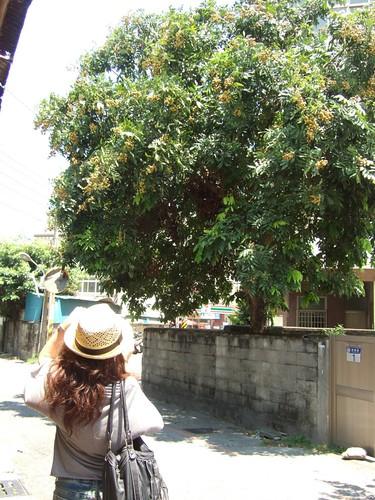 超大的龍眼樹