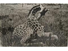 Antique postcard: Congo giraffe (Baltimore Bob) Tags: africa old animal antique wildlife postcard giraffe congo