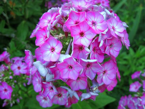"""Barthirtythree"" Tall Garden Phlox"