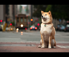 By the Tracks - 27/52 (kaoni701) Tags: sf sanfrancisco street portrait dog night puppy japanese nikon downtown bokeh hill tracks tokina embarcadero cablecar wireless suki shibainu financial californiastreet cls 535 atx week27 shibaken 柴犬 sb800 snoot strobist 50135 sb900 d300s 52weeksfordogs