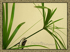 Cyperus involucratus (Umbrella Plant/Sedge, Dwarf Papyrus Grass): tip cutting