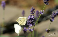 Großer Kohlweißling / Large White (5) (Ellenore56) Tags: life light summer white inspiration color colour nature animal butterfly garden insect licht loop sommer sony natur lavender july philosophy cycle physics environment imagination mathematics juli alpha economic creature magical farbe insekt garten chaostheory leben tier ecological umwelt lavendel largewhite butterflyeffect pierisbrassicae lebewesen disambiguation turbulenzen kohlweisling schmetterlingseffekt chaostheorie groserkohlweisling dslra350 sonyalphadslra350 philosofi ellenore56 13072010 dynamicl