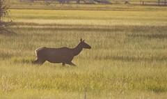Elk (Cervus elaphus) (Frode Jacobsen) Tags: oregon mammal elk cervus frodejacobsen