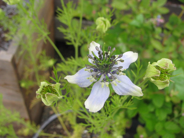 nigella sativa flowers