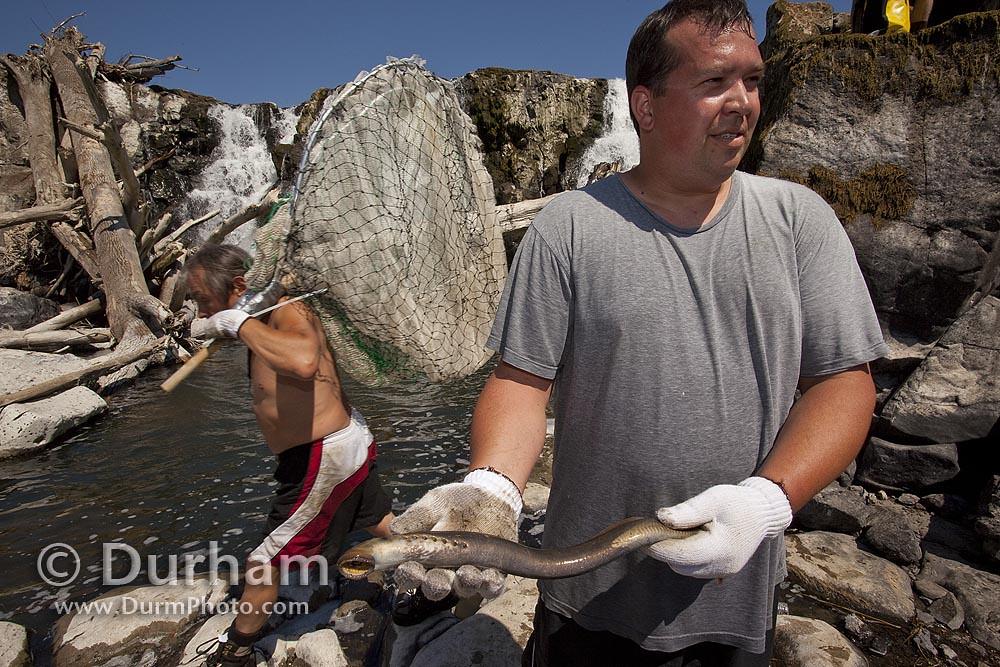 pacific lamprey (Lampetra tridentata)