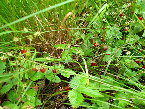 Wild Strawberries - Nærøyfjord, Norway