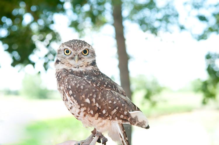Burrying Owl