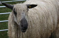 Enough to make a sheep laugh (keepinsidethelines) Tags: sheep rarebreeds longwoolsheep