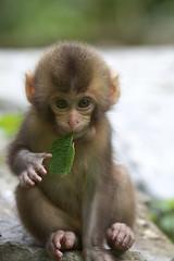 Leaf in baby's mouth (Masashi Mochida) Tags: baby monkey okayama naturesfinest coth supershot specanimal kanba abigfave impressedbeauty rubyphotographer alittlebeauty