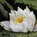 Foto: Europese witte waterlelie
