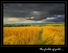 The fields of gold... (Alan10eden) Tags: grain cereal crop fieldsofgold arable tillage abigfave winterbarley