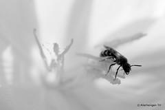 _PIC0464NB (Till Allerheiligen) Tags: white black flower macro nature fleur silhouette insect pistil bee highkey abeille insecte proxy naturesanctuary pentaxk20d