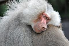 Hamadryas Baboon (Truus & Zoo) Tags: netherlands animals zoo hamadryasbaboon papiohamadryas dierentuin dierenparkamersfoort specanimal mantelbaviaan leastconcern