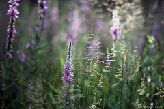 *** (Suzanne Dugal) Tags: flowers summer fleurs t magiclight