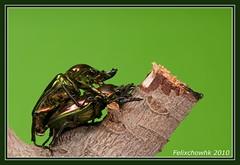 20100719_096 (felixcat2006) Tags: macro nature bug nikon wildlife beetle insects phalacrognathusmuelleri voigtlander125mm d300s