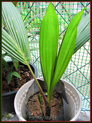 Cyrtostachys renda (Lipstick Palm) with one more new leaf and the tiny shoot, shot 29 June 2010