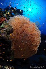 Seafan in Gabr El Bint (sbailliez) Tags: marine underwater dahab redsea egypt wideangle wal sinai marinelife uwphotography
