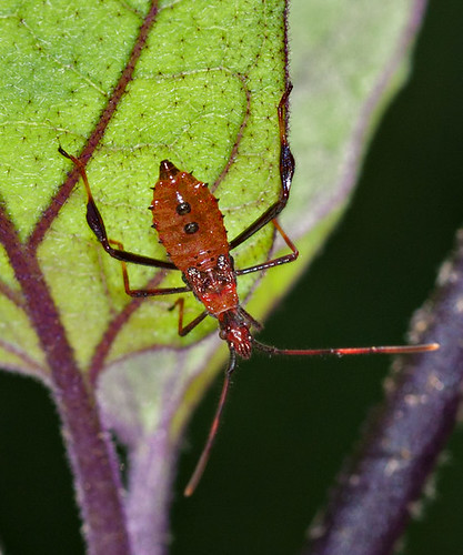 _MG_1837 Leaf Footed Bug
