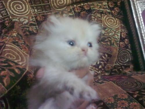 قطط الهملايا - صور شخصية منقولة