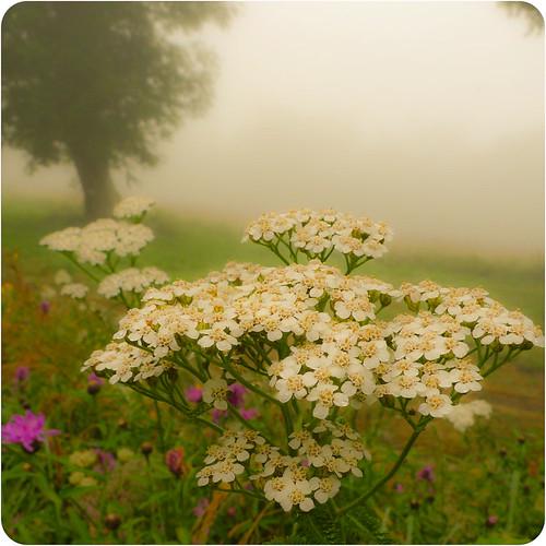 _pyrenäen_flower_power