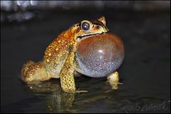 Mr Toad's mating call (Sukanto Debnath) Tags: night pond call air sac monsoon toad mating debnath sukanto sukantodebnath