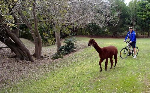 The Llawnton Llama of Lleis Park