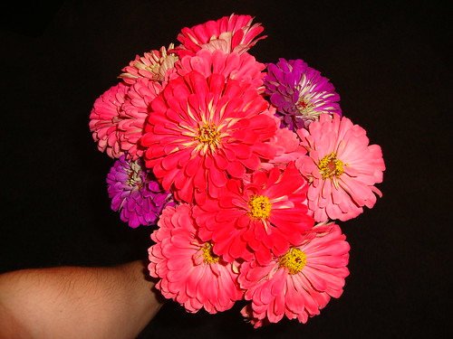 pink, red and purple zinnias