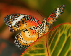 Malay Lacewing, from Malaysia IMG_2938 (mbowen1) Tags: butterfly meijergardens andromeda50