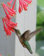 Humming Bird 05 (Hammer51012) Tags: lafayette hummingbird indiana honeysuckle tippecanoecounty