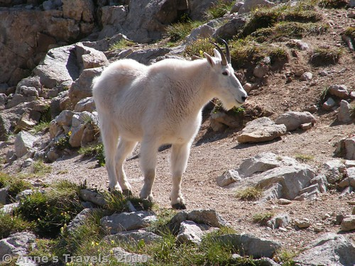 Mountain goat, Maroon Bells Wilderness, White River National Forest, Colorado