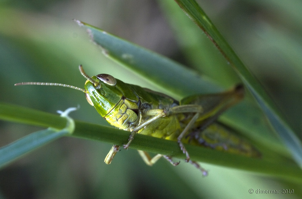 The worlds newest photos of groen and krekel flickr hive mind tags macro green smile bug insect groen cricket grasshopper lach altavistaventures Images