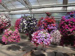 Petunia hanging baskets