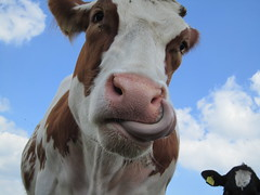 One of my models ( Delta Freedom (excellentzebu1050) Tags: cow cattle farm animails impressedbeauty 100commentgroup