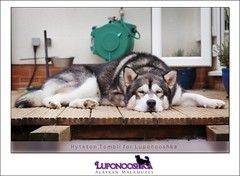 Lucien (Rigor & Samnooshka) Tags: dog relax sleep expression fluffy alaskan mally alaskanmalamute lucien luponooshka hyteton