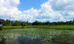 Rice Reflections (cwgoodroe) Tags: summer bali dog gambling colors clouds reflections indonesia duck fight tour rice culture palm padi betting patties cockfight ubud chiken paddies sate batubulan