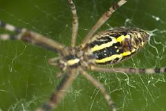 WEB (Matteo Scala) Tags: macro spider nikon web tiger meg cobweb eat micro hunt argiope macrophotography tigerspider beautifulmonsters matteoscala brunneichi