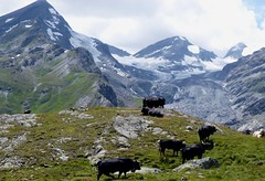 Glaciers and Cows (will_cyclist) Tags: alps cycling switzerland dam barrage lacdemauvoisin cowsx