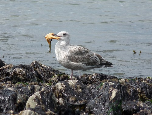 22247 - Herring Gull eating Starfish