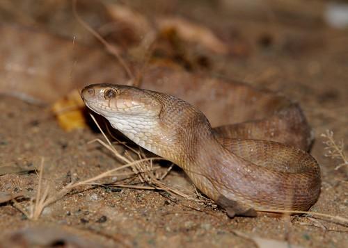 cat snake1