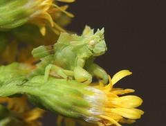 Cute For An Ambush Bug (DrPhotoMoto) Tags: insect northcarolina picnik truebugs richmondcounty reduviidae ambushbug heteroptera ambushbugs phymata assassinbugs phymatinae jaggedambushbugs