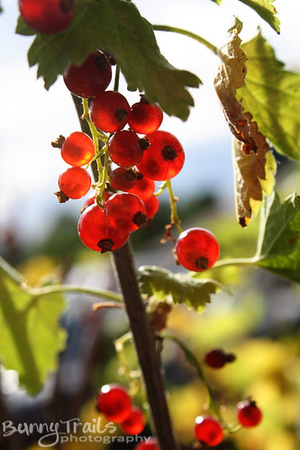 214-red berries