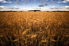 Fields of Wheat (Paul Flynn (Toronto)) Tags: field saint st clouds river lawrence quebec farm wheat farming qc